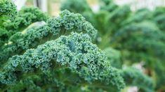 The Different Types of Kale Varieties - Garden Lovers Club Types Of Kale, Red Russian Kale, Red Kale, Kale Plant, Dinosaur Kale, Making Kale Chips, Ornamental Kale, Winter Plants, Edible Plants