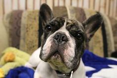 Meet our office puppy!  #OfficePup French Bulldog, Meet, Puppies, Entertaining, Dogs, Animals, Cubs, Animales, Animaux