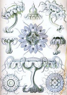 Haeckel_Discomedusae_18.jpg (2332×3280)
