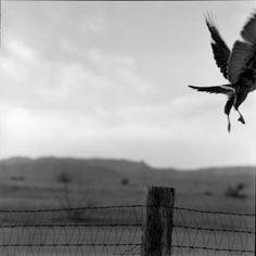 Hawk by james h. evans