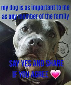Say YES . English staffordshire bull terrier. #staffy #bully #dogs #cute #blue #puppy #rescue