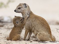 Yellow Mongoose with Baby