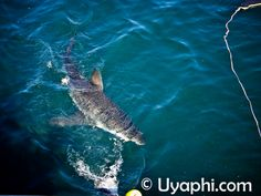 Great White Shark Diving near Cape Town, http://www.uyaphi.com/south-africa/lodges/cape-town.htm