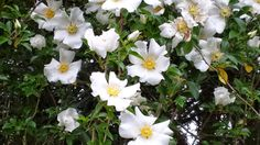 "Cherokee Rose - The history of the Cherokee Rose is very interesting. Legend says that the name comes from the ""Trail of Tears"" forced relocation of the Cherokee tribes to Oklahoma. See the site for more photos and additional information."