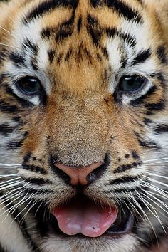 For the longest time I've wanted a baby tiger as a pet! I hope that in the future that ill have the opportunity to have a baby tiger! Big Cats, Cats And Kittens, Cute Cats, Siamese Cats, Beautiful Cats, Animals Beautiful, Pretty Animals, Cute Baby Animals, Animals And Pets
