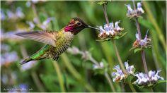 """Anna's Hummingbird"" by Jerrywb"