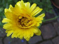 Eßbare Blüten  #WildgärtnerGenuss