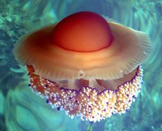 'Fried Egg Jellyfish', photo by T. Friedrich, wikipedia: Commonly found in the Mediterrranean, Aegean or Adriatic Seas and growing up to 35 cm in diameter.