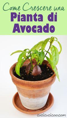 So züchten Sie eine Avocado-Pflanze aus Samen - . Raised Vegetable Gardens, Vegetable Garden Planning, Vegetable Garden For Beginners, Gardening For Beginners, Vegetable Gardening, Planting Vegetables, Planting Seeds, Growing Plants From Seeds, Garden Ideas Diy Cheap