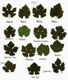 Types of Wine Leaves Etiquette Champagne, Wine Infographic, Wine Leaves, Grape Vineyard, Wine Facts, Grape Plant, Wine Varietals, Wine Education, Wine Chart