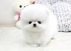 Pomeranian puppy - so sweet