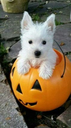 Watch these adorable puppies enjoying changing of seasons and their favorite holiday--HALLOWEEN! Does your dog love Halloween as much as these cute pups? Westie Puppies, Westies, Cute Puppies, Dogs And Puppies, Doggies, West Highland Terrier, Beautiful Dogs, Animals Beautiful, Terriers