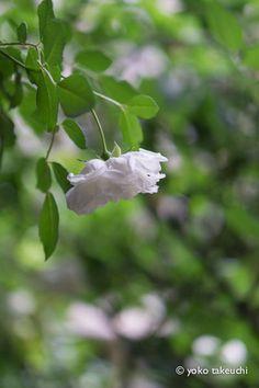 https://flic.kr/p/scjr27   rose garden Albéric Barbier