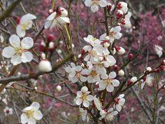 山梨県富士川クラフトパーク - 梅花五分咲きと春黄金花