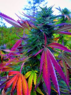 Colorful Weed Plants→follow← ☮❤✌Medical Marijuana☮❤✌ @ ★☆Danielle ✶ Beasy☆★