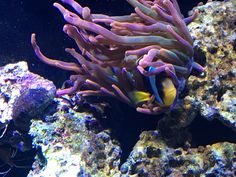 Clarkii Clownfish and bubble tip