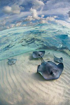 Stingrays swimming on the ocean floor!☺