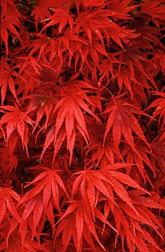 "Japanese Maple ""Nicholsoni"" Grows to 12-15 ft high and 12-15 ft wide."