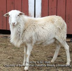 St. Croix sheep are excellent foragers and very easy keepers. Their browsing ability makes them useful for land management, including mowing grass in orchards and the control of invasive pest plants. Though heat tolerant, the sheep can be raised in many parts of North America. excellent choice for low input meat production. The breed has well documented parasite resistance, far superior to that found in most other sheep breeds. Ewes often produce twins and have plenty of milk to raise them.