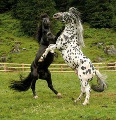 pinzgauer horse | Noriker 3 - horse Breeds | ცხენის ჯიშები ...