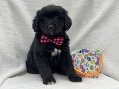 Copper - Bernese Mountain Dog Mix Puppy for Sale in Blairsville, PA | Lancaster Puppies Bernese Mountain Dog Mix, Mountain Dogs, Bernice Mountain Dog, F1 Mini Goldendoodle, Lancaster Puppies, Dog Mixes, Thing 1, Puppies For Sale, Animals
