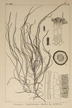 Kintaro Okamura - Icones of Japanese Algae, Volume 2 Botanical Drawings, Botanical Illustration, Botanical Prints, Fauna Marina, Image Nature, Science Illustration, Gravure, Science And Nature, Natural History