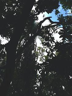 聖樹 蒲葵 久高島