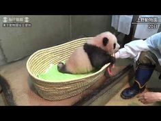 Cute panda cub playing ball - YouTube
