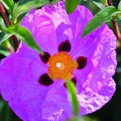 Top 50 water-wise plants | Rockrose | Sunset.com