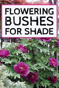 Shade garden 426153183492226318 - I love these flowering bushes for shade, especially the peony bush (who knew there was a peony that blooms in the shade?) These are the perfect shade garden plants for landscaping my front yard. Shade Garden Plants, Garden Shrubs, Garden Trees, Landscaping Plants, Front Yard Landscaping, Landscaping Ideas, Garden Bed, Planters For Shade, Plants That Like Shade