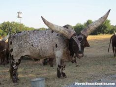 The Ankole-Watusi, also known as Ankole longhorn cattle originally native to Africa. Its large, distinctive horns, that can reach up to 8 feet (2.4 m) from tip to tip, used for defense & cooling by blood vesseled honeycombs. Ankole-Watusis weigh from 900 to 1,600 pounds (410 to 730 kg). Living in the savannas & open grasslands, diet consists of grass & leaves. Sometimes known as Ankole or Watusi, and is a breed of Sanga cattle.