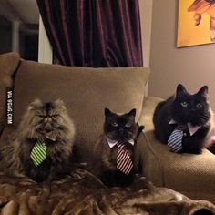 My friends mom got their cats all ties today