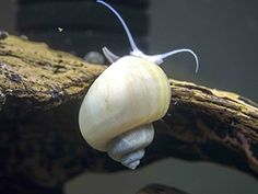 """3 LARGE (1/2 to 2+ inch) Ivory White Mystery Snails-  Can grow to over 2"""", 1of the largest freshwater snails in the aquarium hobby..move around much faster and are more active than other snails! Feeds on leftover food or almost any kind of fish food."""