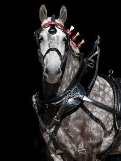 Handsome dapple grey Percheron in harness. Big Horses, Work Horses, Horse Love, Show Horses, Percheron Horses, Clydesdale, Horse Photos, Horse Pictures, All The Pretty Horses