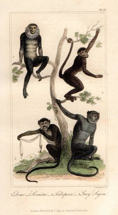 Primate Monkey Original 1821 Buffon Antique Print Hand Coloured Animal Engraving