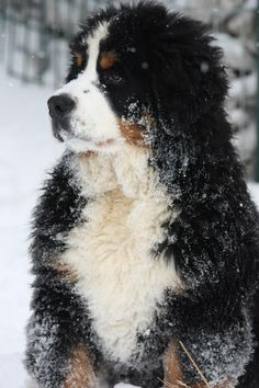 need a cute doggy to go with the condo ; Cute Puppies, Cute Dogs, Dogs And Puppies, Bernese Mountain, Mountain Dogs, Big Dogs, Large Dogs, Beautiful Dogs, Animals Beautiful