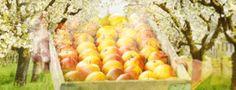 Apfelcreme - Bienestich mit Knusperboden