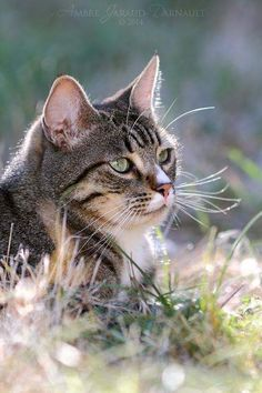Best of Tabby Cats pictures: Pretty Cats, Beautiful Cats, Animals Beautiful, Cute Animals, Animals Images, Cute Kittens, Cats And Kittens, I Love Cats, Crazy Cats