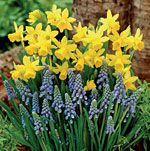 How to plant fall bulbs - Daffodil & Grape Hyacinth Mix - Tall bulbs in back - short in front