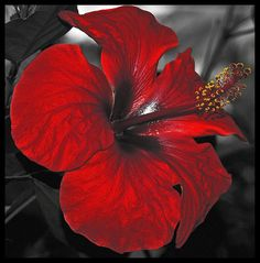 Hibiscus red passion flower.