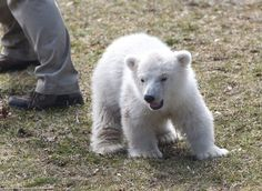 The cuddly cub, born last November, has helped spur contributions to the campaign for a new polar bear exhibit at the zoo, which is seeking $4 million in donations for the $14 million project. (Sharon Cantillon/Buffalo News)