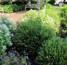Classic shrubs are the spine of the landscape. These are usually my fave evergreen shrubs to use with trees and shrubs, plants and flowers within your mixed garden boundary. Small Evergreen Shrubs, Evergreen Bush, Evergreen Flowers, Evergreen Garden, Small Shrubs, Perennial Garden Plans, Flower Garden Plans, Garden Shrubs, Garden Ideas