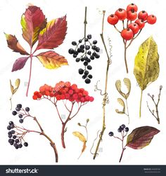 Watercolor Illustration With Branches, Leaves And Berries. Set Of Winter And Autumn Forest Plants. Collection Of Herbarium Garden. - 342609182 : Shutterstock