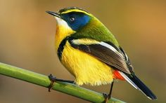 The Many-coloured rush tyrant (Tachuris rubrigastra) or Many-colored rush tyrant is a small passerine bird of South America belonging to the tyrant flycatcher family. Pesquisa Google.