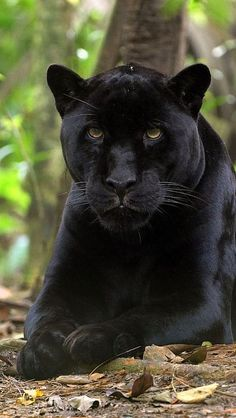 A black panther is typically a melanistic color variant of any of several species of larger cat. Description from pinterest.com. I searched for this on bing.com/images