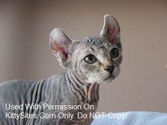 Vaalor Elf Cats Big Cats, Cats And Kittens, Elf Cat, Hairless Cats, Domestic Cat, Cat Gif, Cat Lovers, Animals, Animales