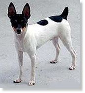 Another toy fox terrier!