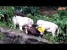 tigre attaque au zoo de singapour : tigre blanc