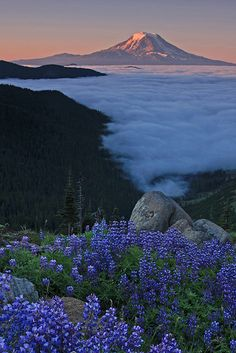 Alpine Lupines and Mount Adams from Goat Lake, Goat Rock Wilderness, Washington, by Takeshi Sugimoto, on flickr.