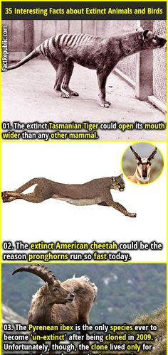 1. The extinct Tasmanian Tiger could open its mouth wider than any other mammal. 2. The extinct American cheetah could be the reason pronghorns run so fast today.